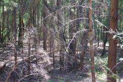 De Armstrongcalifornische sequoia's verklaren Natuurlijke Reserve, Californië stock afbeelding