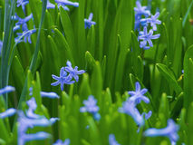 De aromatische purpere bloemen groeien in de tuin Royalty-vrije Stock Foto