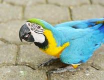 De Aronskelken van de Yellowblueara Royalty-vrije Stock Afbeeldingen