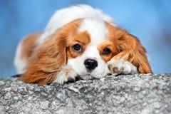 De arrogante hond van Charles Spaniel van de Koning Royalty-vrije Stock Fotografie