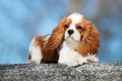 De arrogante hond van Charles Spaniel van de Koning Stock Fotografie