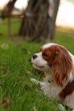 De arrogante jonge hond van Koningscharles spaniel legt op het groene gras op de zonnige dag royalty-vrije stock fotografie