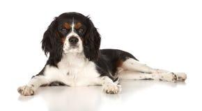 De Arrogante Koning Charles Spaniel van het puppy Stock Afbeeldingen
