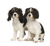 De Arrogante Koning Charles Spaniel van puppy (3 maanden) Stock Foto's