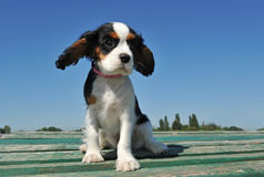 De arrogante koning Charles van het puppy Royalty-vrije Stock Foto