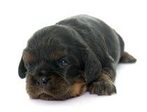 De arrogante koning Charles van het puppy stock afbeeldingen