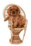 De arrogante koning Charles van het puppy stock foto