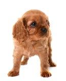 De arrogante koning Charles van het puppy royalty-vrije stock fotografie