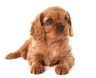 De arrogante koning Charles van het puppy stock afbeelding