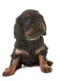 De arrogante koning Charles van het puppy royalty-vrije stock foto's