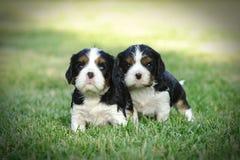 De arrogante puppy van Charles Spaniel van de Koning Royalty-vrije Stock Foto's