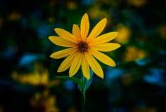 De artisjok van Jeruzalem Gele topinamburbloemen Helianthustubero stock foto