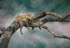 De ontwijkende luipaard Stock Afbeeldingen