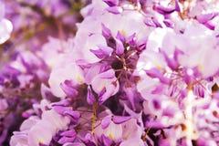 De artistieke onscherpe achtergrond van het aardbehang met purpere bloemenwisteria of glycine in de lente royalty-vrije stock foto's