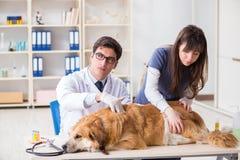 De arts en de medewerker die golden retrieverhond in dierenartskliniek controleren stock foto