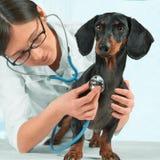 De artsendierenarts luistert een hond Royalty-vrije Stock Afbeeldingen