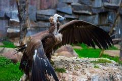 De Asgrauwe gieren brede vleugels Stock Fotografie