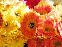 De aster van Tel Aviv bloeit 2011 Stock Foto's