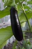 De aubergine Stock Afbeelding