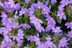 ` De Aussie Crawl del ` del aemula de Scaevola, flor de la fan Imagen de archivo libre de regalías