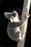 De Australiër draagt welp. Stock Foto