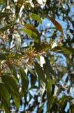 De Australische Bladeren van de Gom Stock Afbeeldingen