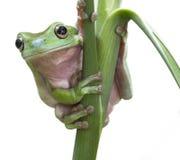 De Australische Groene Kikker van de Boom Royalty-vrije Stock Afbeeldingen