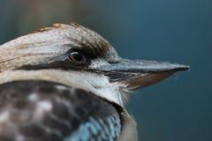 de Australische het Lachen neergestreken Kookaburra Royalty-vrije Stock Foto's
