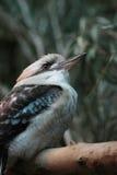 de Australische het Lachen neergestreken Kookaburra Royalty-vrije Stock Foto