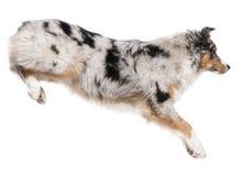 De Australische hond die van de Herder, 7 maanden oud springt Royalty-vrije Stock Foto