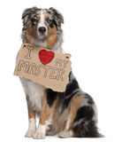 De Australische hond van de Herder, 10 maanden oud, het zitten Royalty-vrije Stock Afbeelding
