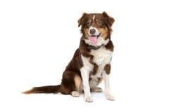 De Australische hond van de Herder Stock Afbeelding