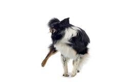 De Australische hond van de Herder Royalty-vrije Stock Afbeeldingen