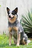 De Australische Hond van het Vee Stock Foto