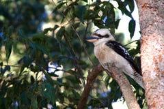 De Australische Kookaburra van de Struik in boom Stock Afbeeldingen