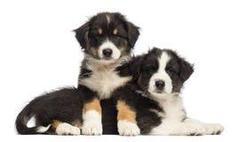 De Australische puppy die van de Herder op een andere liggen Stock Afbeelding