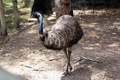 De Australische soorten van Dromaius van de Emoe Stock Foto
