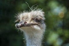 De Australische struisvogel royalty-vrije stock fotografie