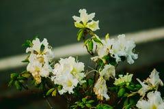 De azalea is de familienaam van de bloeiende installatie in de soort Rododendron moulmainense stock afbeeldingen