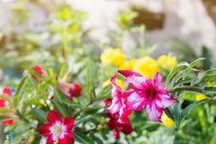 De azaleabloemen is bloeiend voor achtergrond Stock Foto's