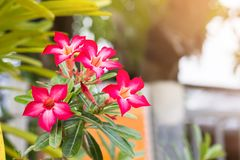 De azaleabloemen is bloeiend voor achtergrond Royalty-vrije Stock Afbeeldingen