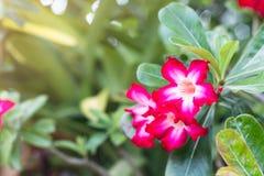 De azaleabloemen is bloeiend voor achtergrond Royalty-vrije Stock Foto's