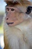 De Aziatische aap kijkt in natuurlijk Stock Fotografie