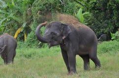 De Aziatische babyolifant speelt Stock Afbeelding
