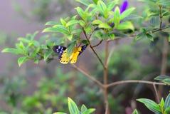 De Aziatische Gele en Zwarte Vlinder stock foto