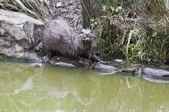 De Aziatische klein-gekrabde die otter, ook als de oosterse klein-gekrabde otter, Amblonyx-cinereus wordt bekend stock afbeeldingen