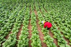 De Aziatische landbouwers kweekten tabak in het omgezette tabak groeien in het land, Thailand royalty-vrije stock foto