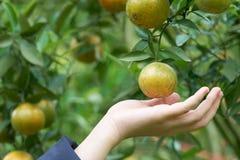 De Aziatische meisjeshand oogst sinaasappel van de oranje tuin in een nieuwe zoete pijnboomaanplanting op een hoge hoogte als ach Royalty-vrije Stock Foto's