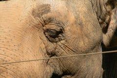 De Aziatische olifant achter een veiligheidsomheining, sluit omhoog, achtergrond royalty-vrije stock afbeeldingen