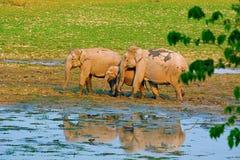 De Aziatische of Aziatische olifant, Elephas-maximus stock foto's